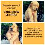 Golden Retriever Filhotes de golden retriever com pedigree e garantia São Paulo São Paulo