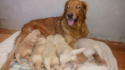 Filhotes de golden retriever com pedigree e garantia