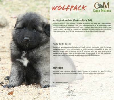 Cachorro Serra da Estrela
