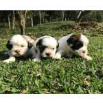 Lhasa Apso Lhasa-Apso lindos filhotes fêmeas e machos disponíveis São Paulo São Paulo
