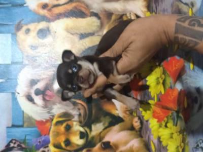Chihuahua pelo curto filhotes com porte bem pequeno