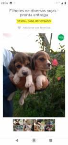filhote de beagle mini