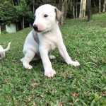 Whippet Whippet lindos filhotes disponíveis com pedigree São Paulo São Paulo
