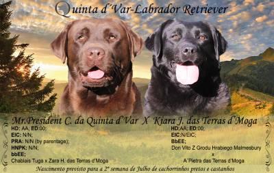 Ninhada Labrador Retriever- Gestação Confirmada
