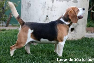 Beagle Tricolor disponível para cruzas