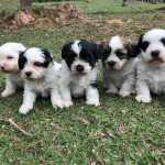 Lhasa Apso Lhasa-Apso lindos filhotes disponíveis com pedigree São Paulo São Paulo