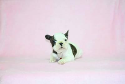 Bulldog Frances Pirata