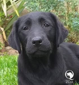 Ninhada Labrador Retriever