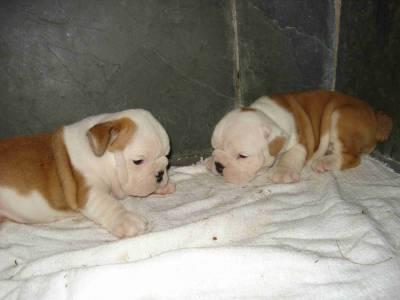 Lindos filhotes de Bulldog