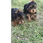 Yorkshire Terrier Yorkshire lindos filhotes disponíveis com porte bem pequeno