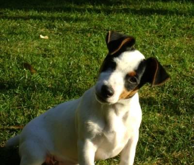 Jack Russell Terrier macho disponível para acasalamento
