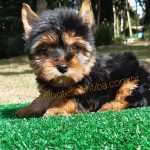 Yorkshire Terrier Filhotes de Yorkshire - criação ética e Profissional Paraná Curitiba