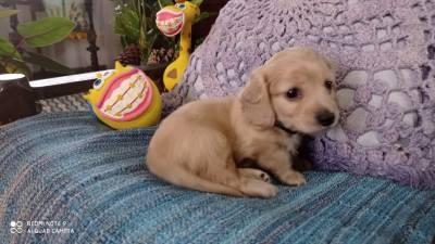 Filhote de teckel  dachshund pelo longo miniatura creme