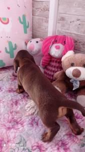 dachshund miniatura chocolate