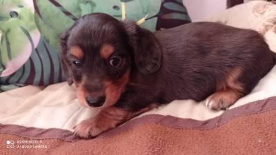 dachshund miniatura pelo longo