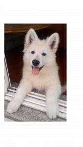 Cachorro de Pastor Branco Suiço