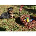 Yorkshire Terrier Yorkshire Terrier miniatura