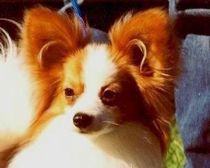 Cachorros Miniatura - Papillon