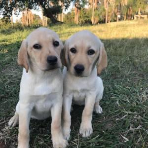 Labradores Amarelos Chocolates e Pretos