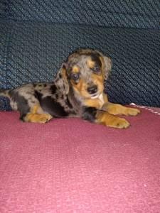 teckel basset cofap dachshund Anão