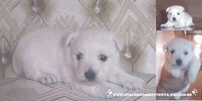 Lindos Filhotes de West Terrier IG