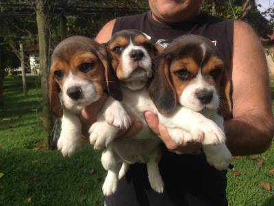 Beagles Mini Machos e Fêmeas